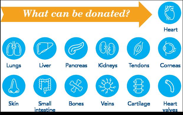 Qué se puede donar: corazón, pulmones, hígado, páncreas, riñones, tendones, córneas, piel, intestino delgado, huesos, venas, cartílagos y válvulas cardíacas.